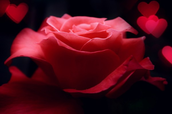 Una rosa para regalar en San Valentín