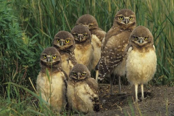 Familia de búhos
