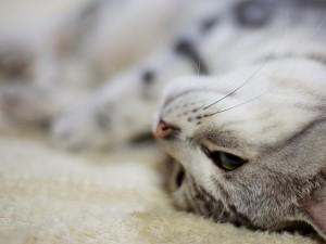 La cara de un gato tumbado