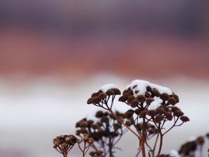 Postal: Nieve sobre una flores secas
