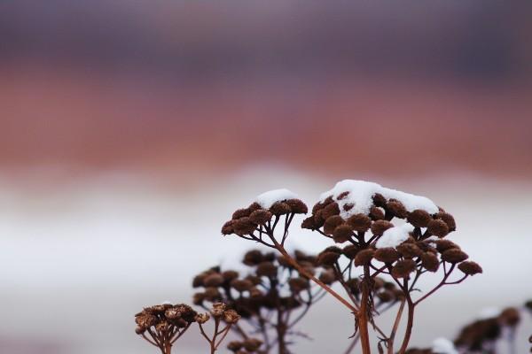 Nieve sobre una flores secas