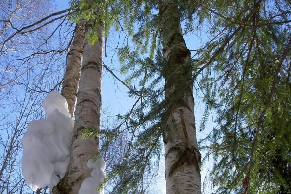 Bloque de nieve en el tronco de un árbol