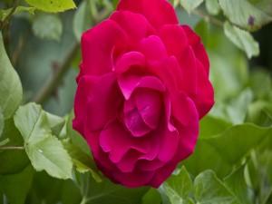 Rosa color fucsia en el rosal