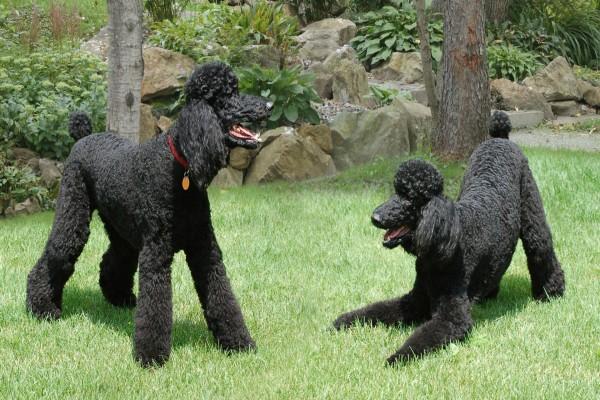 Caniches negros jugando en la hierba