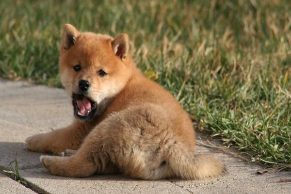 Cachorro bostezando