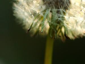 Postal: Cipselas en la flor diente de león