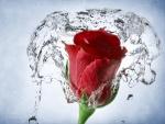 Salpicaduras de agua sobre una rosa roja
