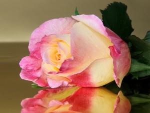 Postal: Primer gran plano de una majestuosa rosa