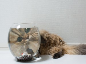 Postal: Gato mirando al pez de la pecera