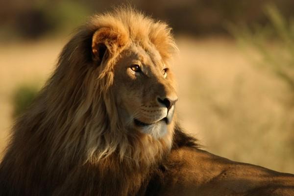 Un hermoso león recibiendo la cálida luz del sol