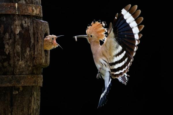 Un hermoso pájaro alimentando a su cría