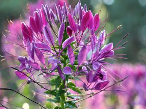 Postal: Curiosa planta con flores color fucsia