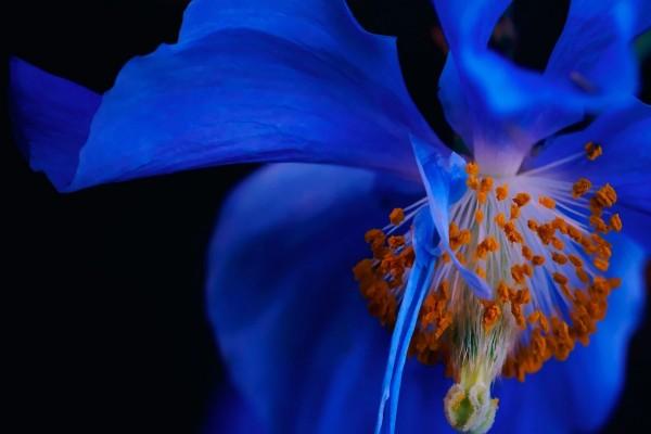 Los estambres y pétalos azules de una maravillosa flor