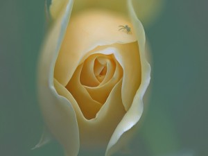 Postal: Araña sobre los pétalos de una rosa