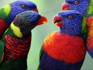 Reunión de loros arcoíris