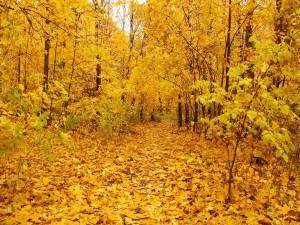 Bosque amarillo en otoño