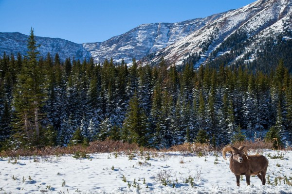 Cabra montesa en un paraje nevado