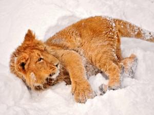 Un joven león jugando en la nieve