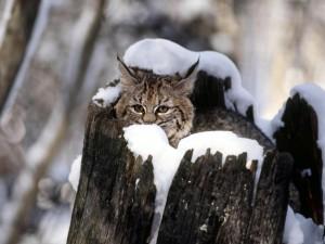 Lince en el hueco de un tronco cubierto de nieve