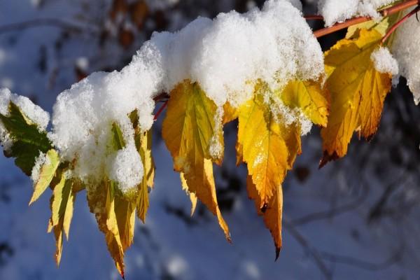 Hojas de otoño con copos de nieve