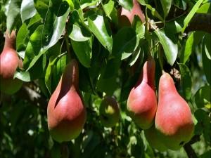 Postal: Peras en el árbol