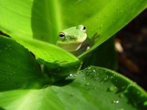 Postal: Rana entre hojas verdes