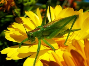Postal: Gran saltamontes verde sobre una flor amarilla