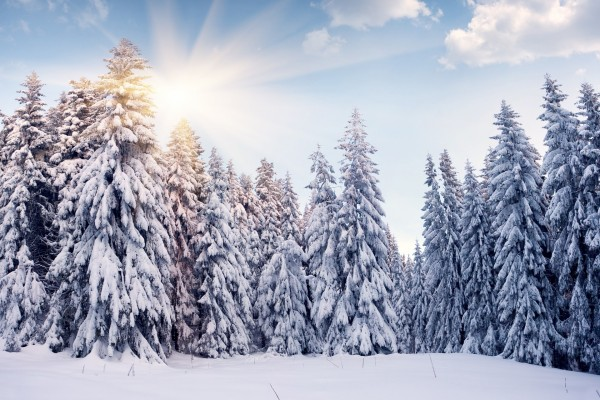 El sol brillando tras los pinos blancos