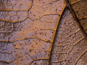 Postal: Parte posterior de una hoja marrón