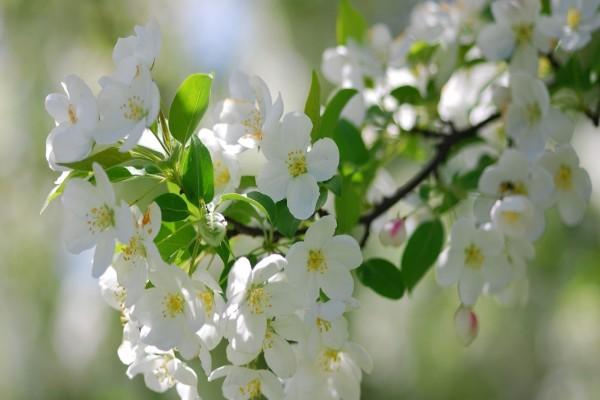 Ramita con hojas verdes y flores blancas
