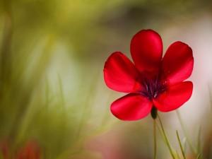 Una sencilla flor silvestre con pétalos rojos