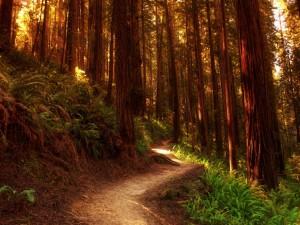 Postal: Camino en el interior de un gran bosque