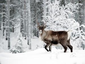 Postal: Reno con el hocico cubierto de nieve