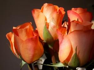 Espléndidas rosas de color naranja