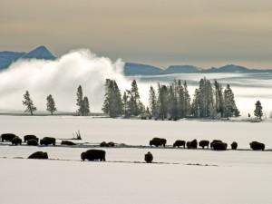 Postal: Bisontes en un paraje cubierto de nieve