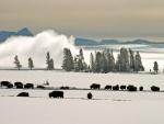 Bisontes en un paraje cubierto de nieve