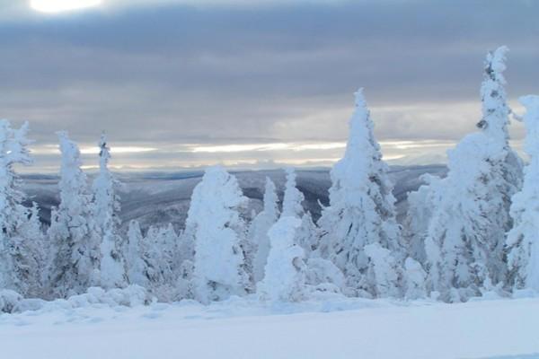 Árboles blancos en un paisaje nevado