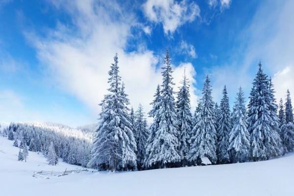 Cielo azul sobre un pinar cubierto de nieve