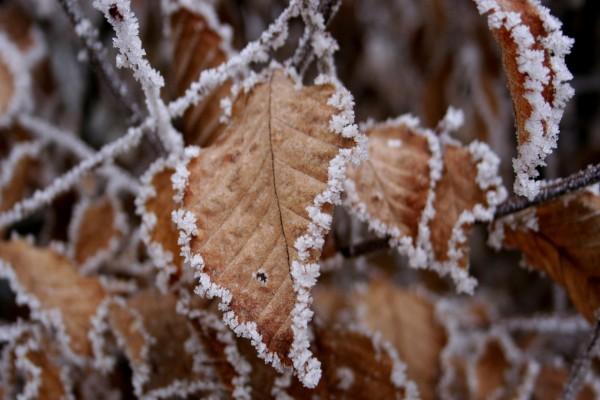 Hojas secas con hielo en los bordes