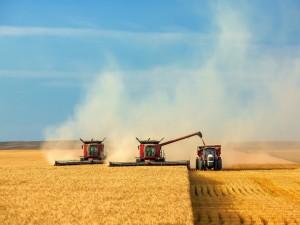 Maquinarias cosechando el trigo maduro