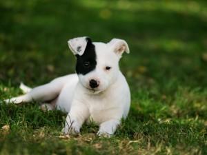 Un perrito blanco con una mancha negra