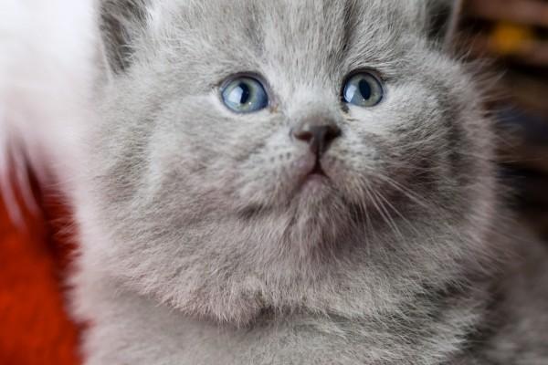 Hermoso gato gris con ojos azules