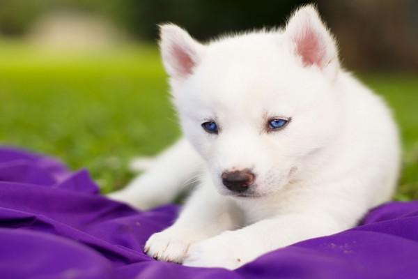 Un cachorro siberiano blanco con ojos azules