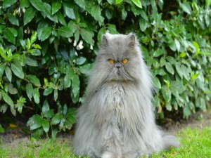 Postal: Gato persa junto a unos arbustos