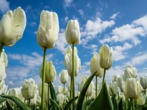 Postal: Espléndidos tulipanes blancos en un campo