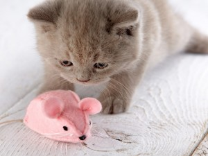 Un gatito observando un ratón de juguete