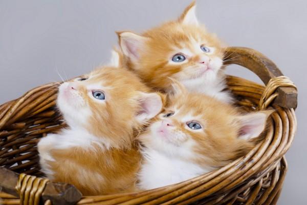 Trío de gatos en una cesta