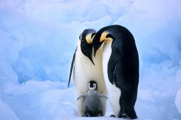 Una amorosa familia de pingüinos