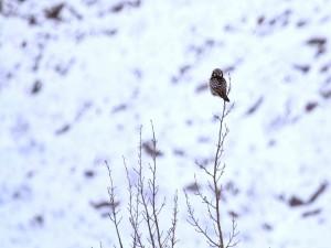 Lechuza en lo alto de un árbol invernal