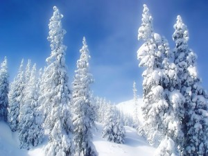 Postal: Cielo azul sobre unos pinos cubiertos de nieve
